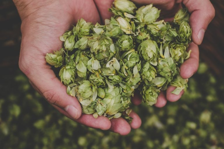 Green hops for beer in man's hand
